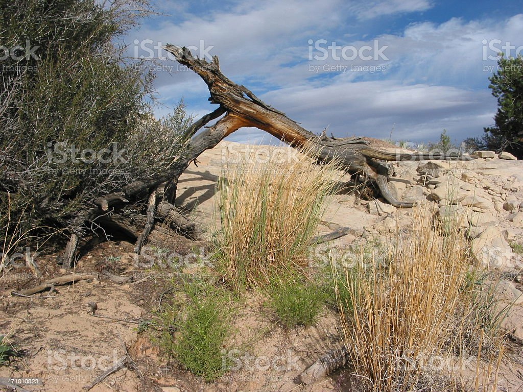 Dry, Dry Desert Tree stock photo