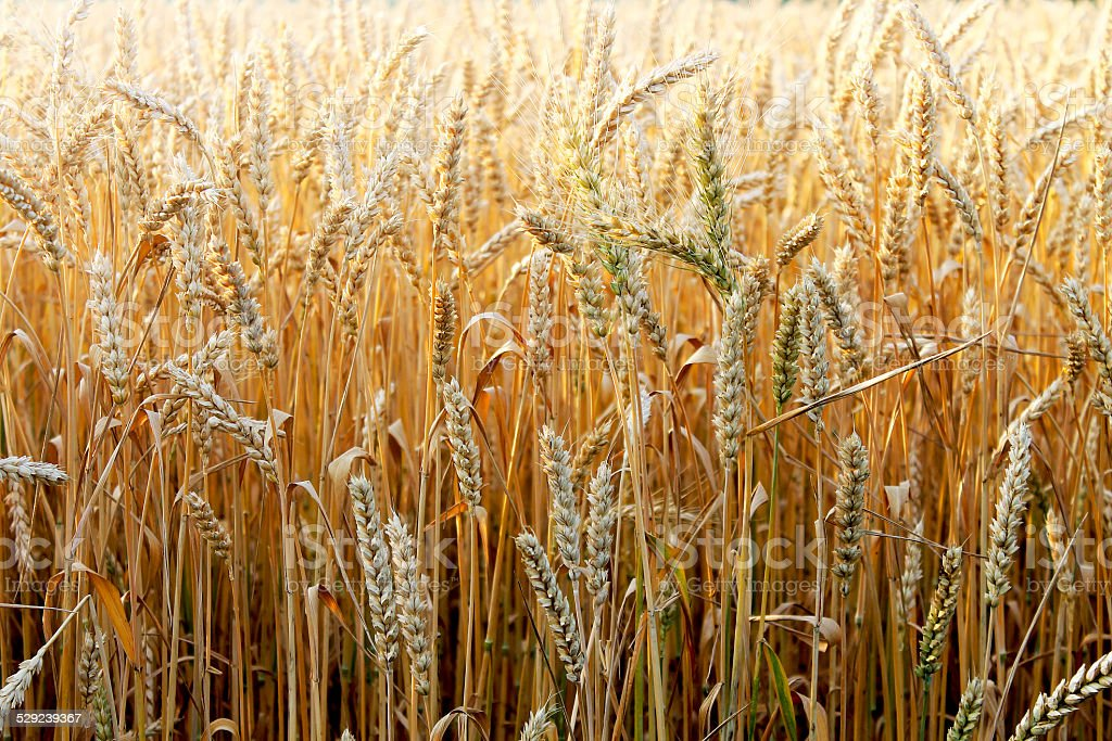 dry ears of wheat on a field background royalty-free stock photo