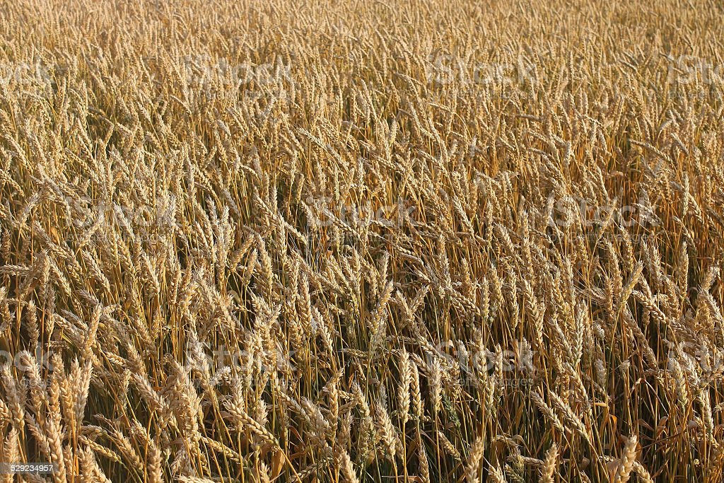 dry ears of wheat royalty-free stock photo