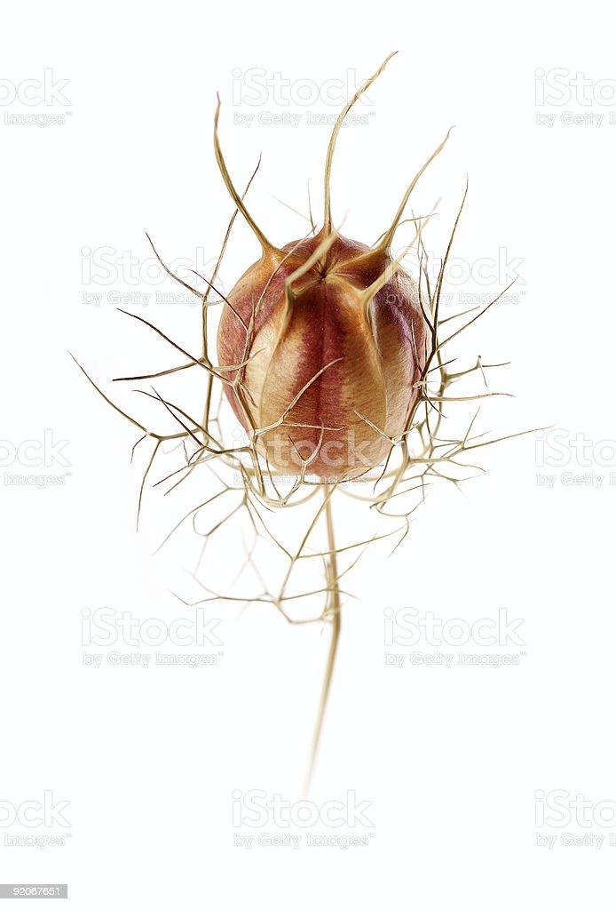 Dry flower isolated on white background1 stock photo
