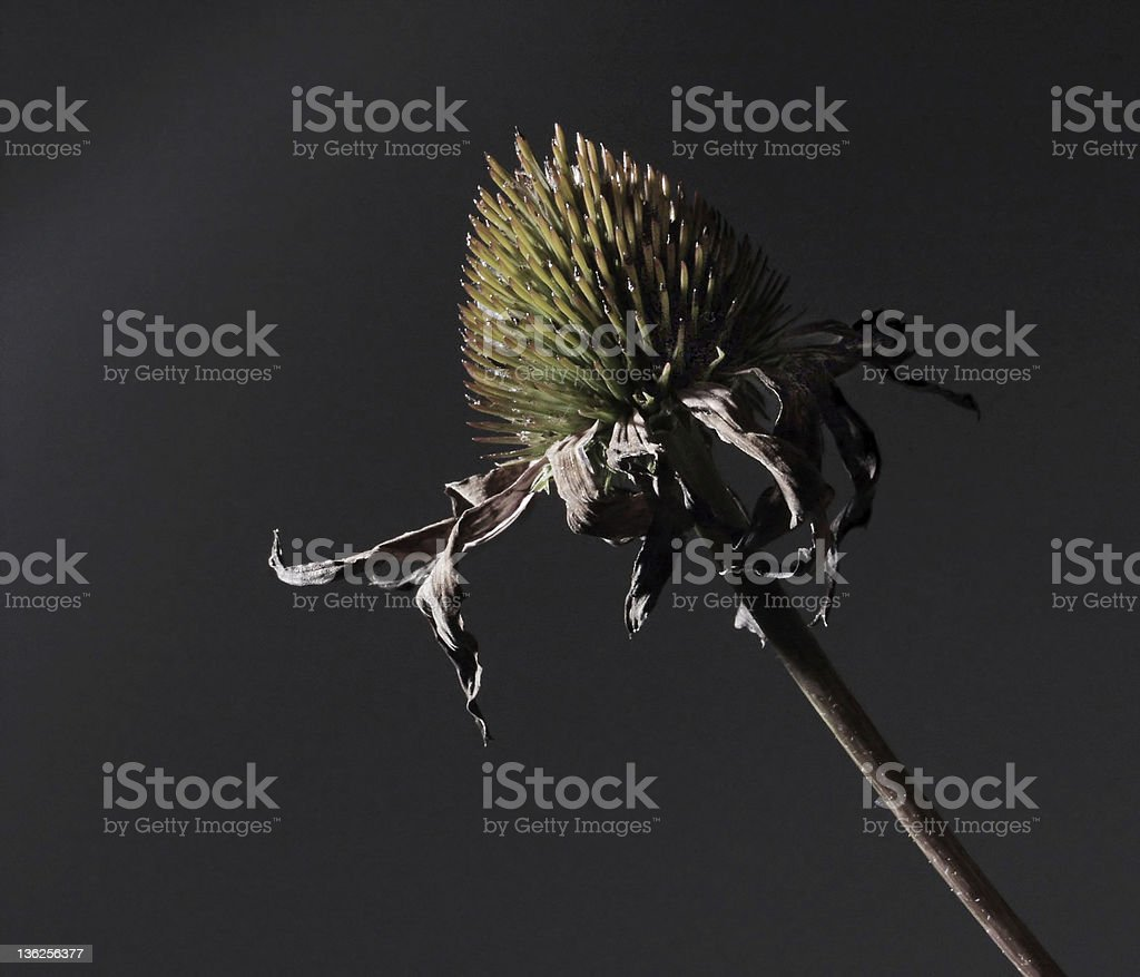 dry flower royalty-free stock photo