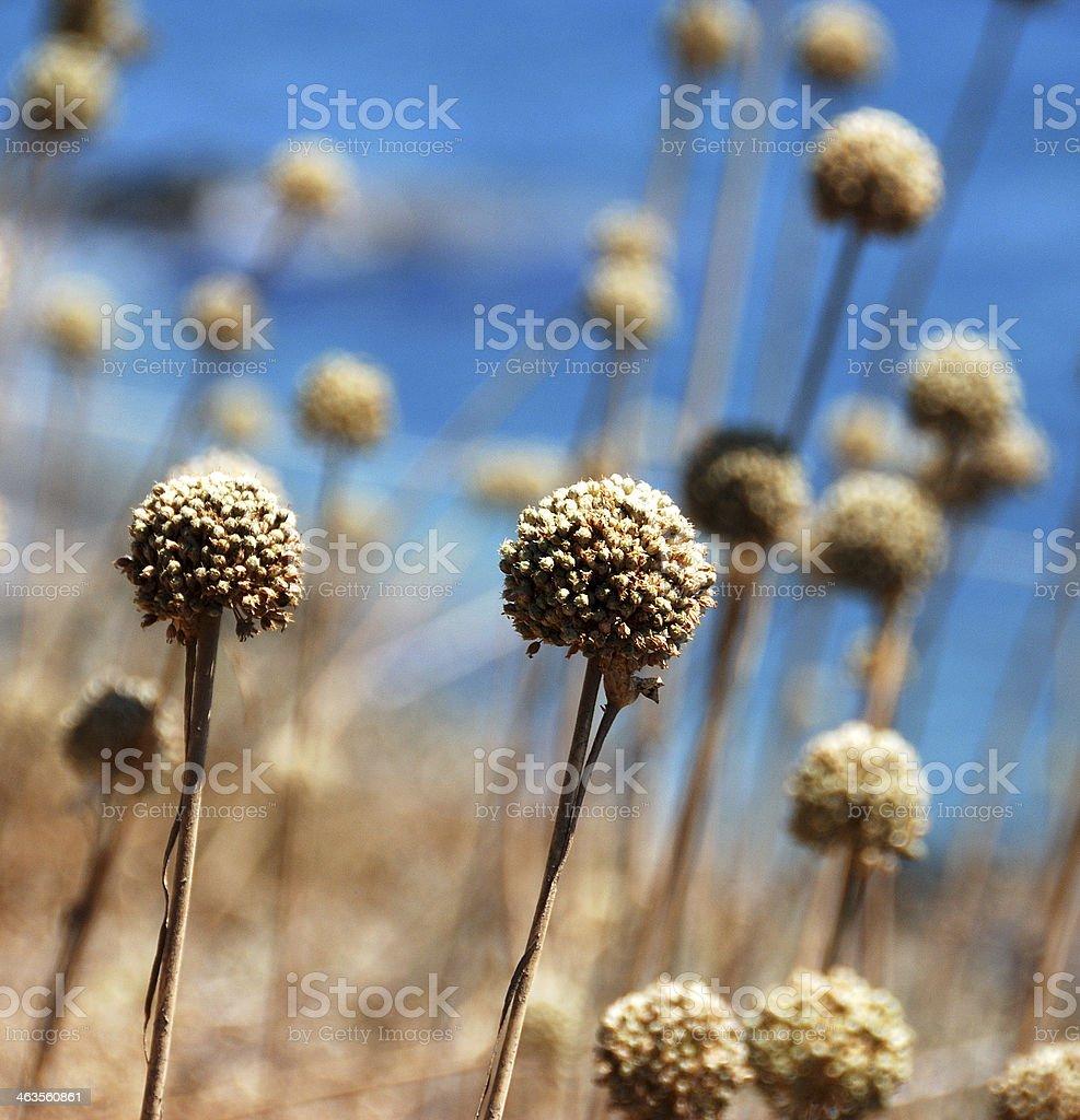 Dry Flowers at Pointe de la Parata stock photo