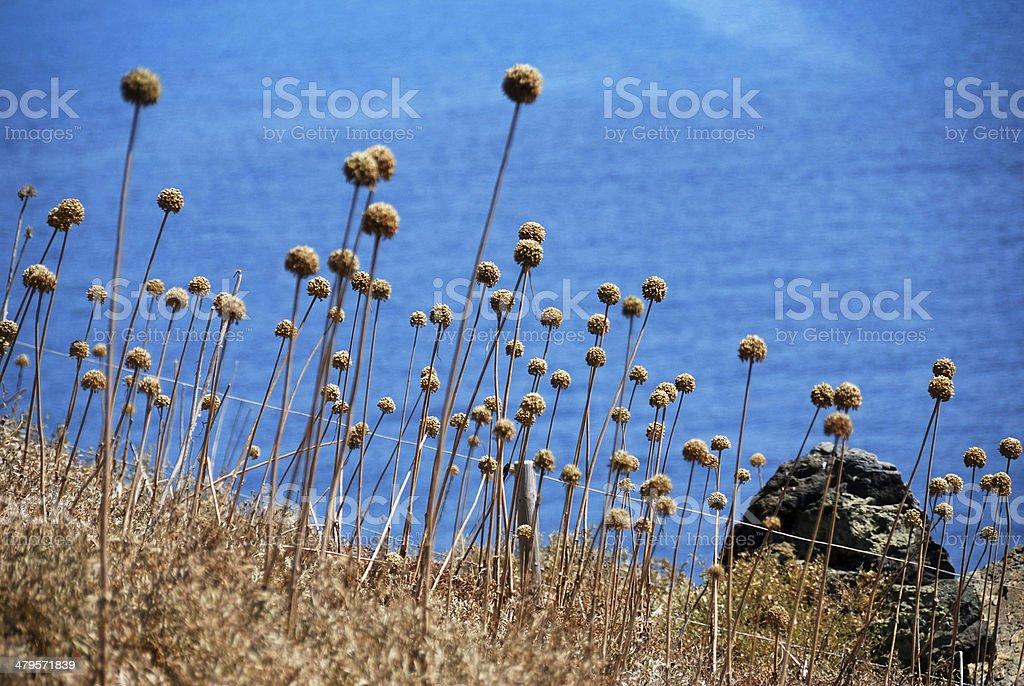 Dry flowers near Pointe de la Parata, Gulf of Ajaccio stock photo