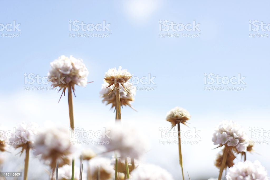Dry flowers royalty-free stock photo