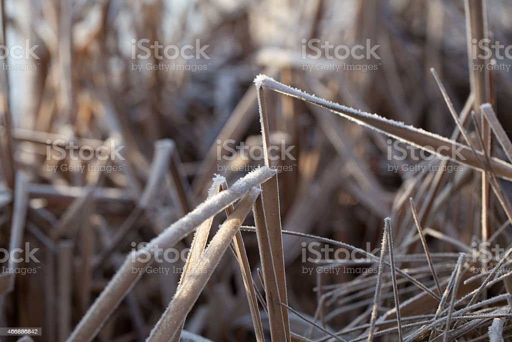 Dry Frost Covered Reeds Bent Over stock photo