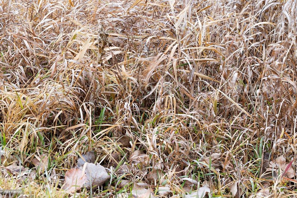 Dry Golden Wild Grasses stock photo