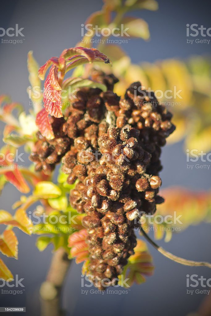 Dry Grapes royalty-free stock photo