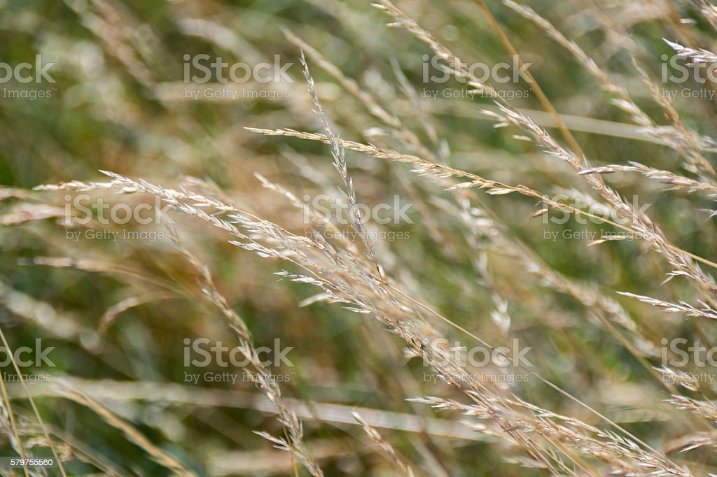 Dry grass flower on windy day nature background_1 stock photo