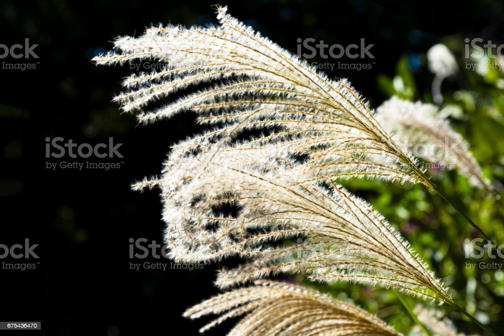 Dry grass in sunshine against dark background with copy space stock photo