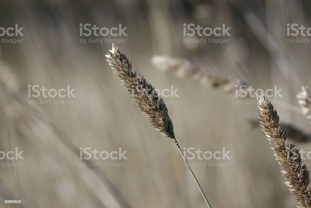 Dry Grass royalty-free stock photo