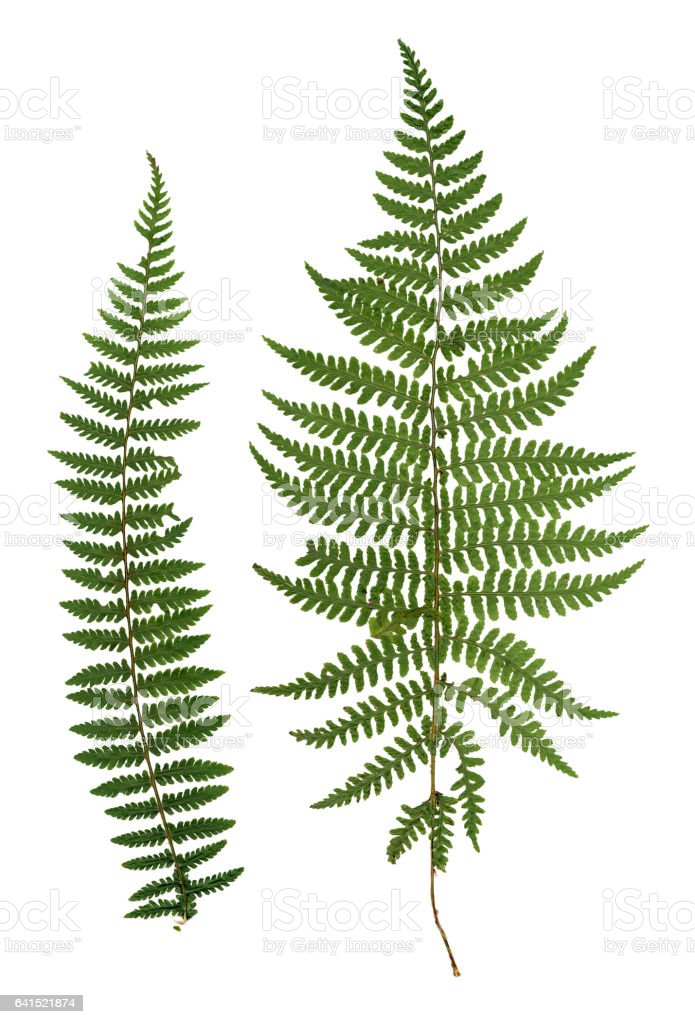 dry green pressed leaf of fern stock photo