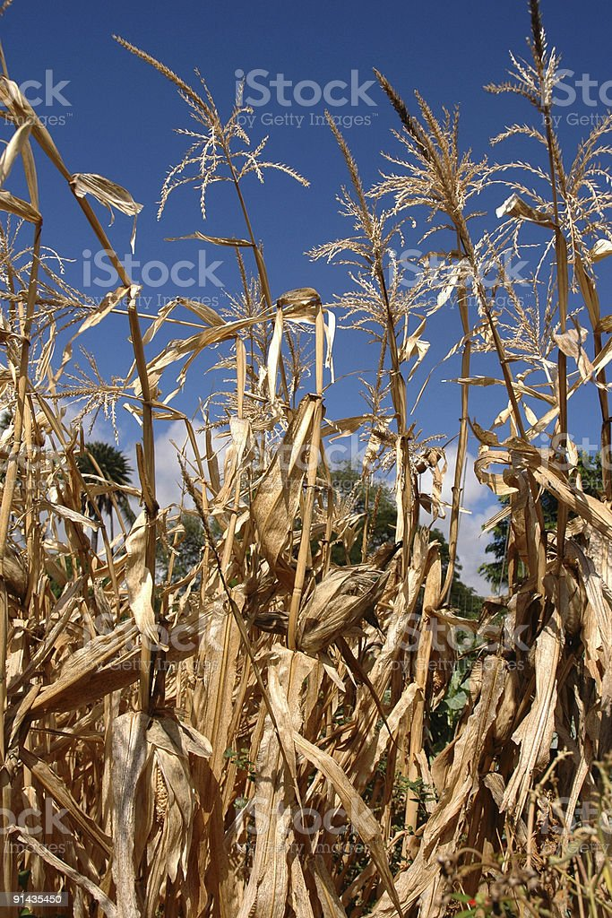 Dry harvested corn stalks with blue sky royalty-free stock photo