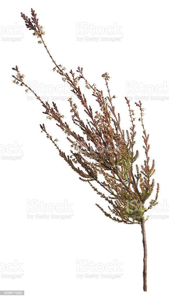 Dry heather, Calluna vulgaris isolated on white background stock photo