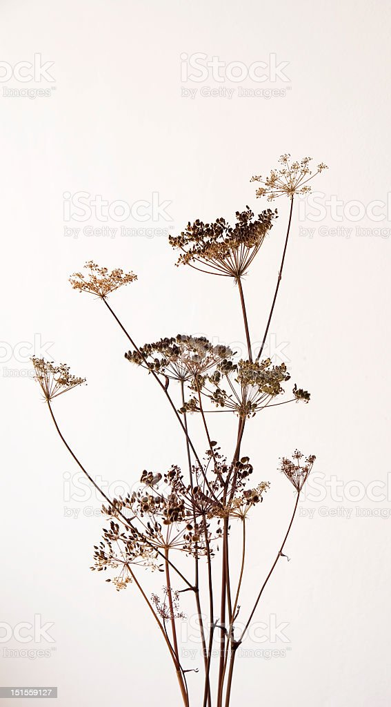 dry hogweed flowers stock photo