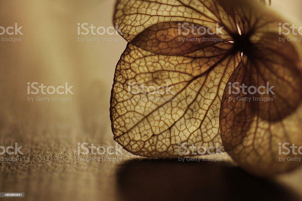 Dry Hydrangea paniculata (Panicle hydrangea) stock photo