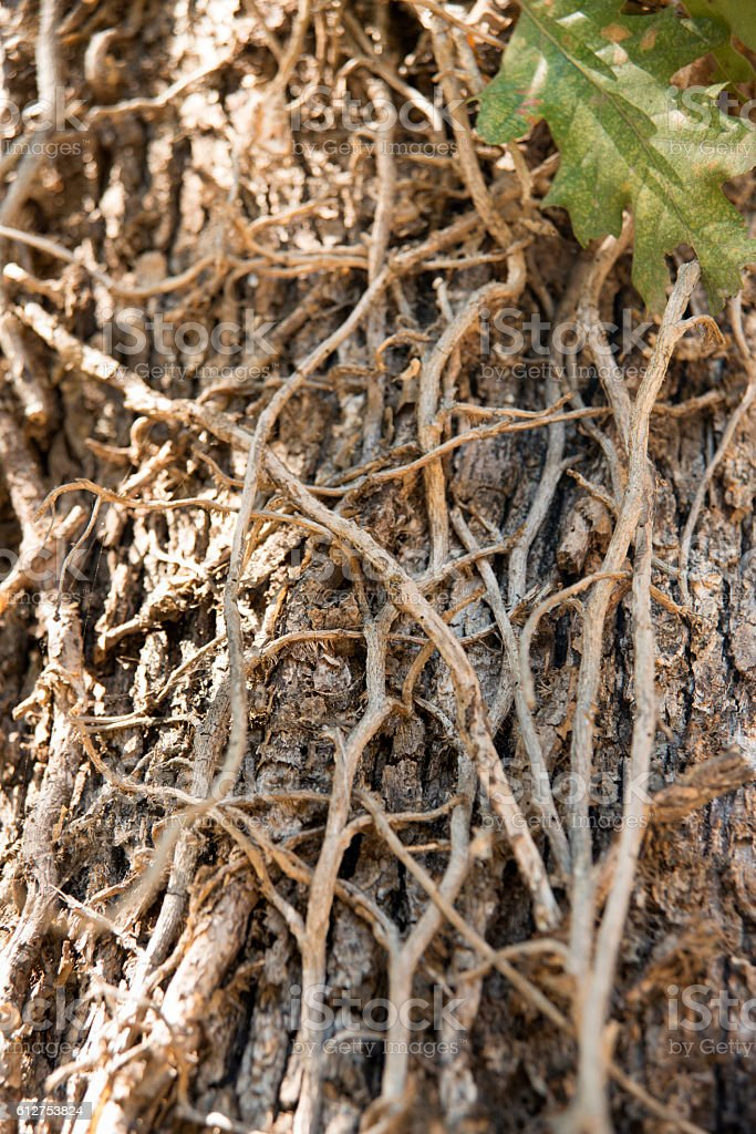 Dry Ivy Branches stock photo