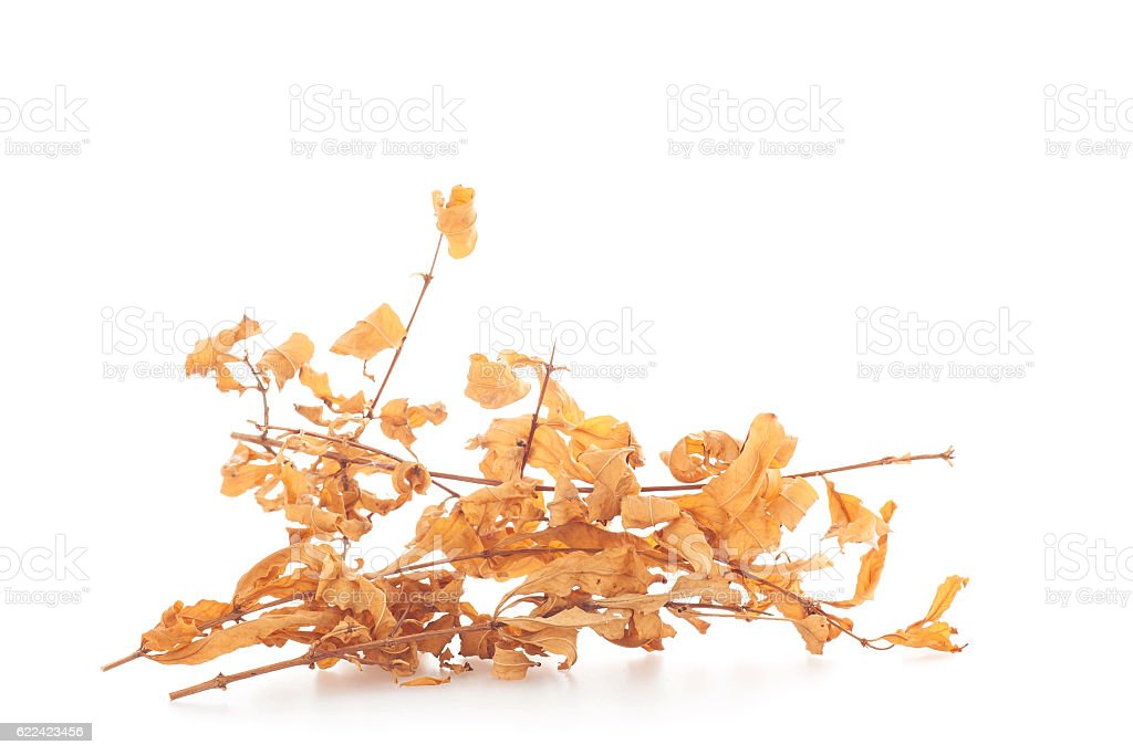 Dry leafs on white background. stock photo