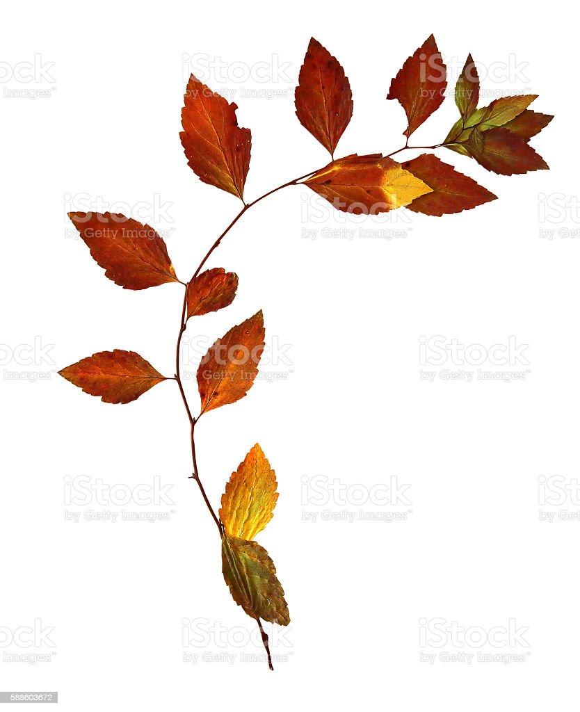 dry leaves flexible birch stock photo