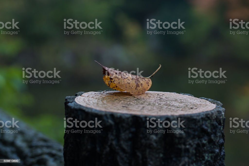 Dry leaves on the stump stock photo