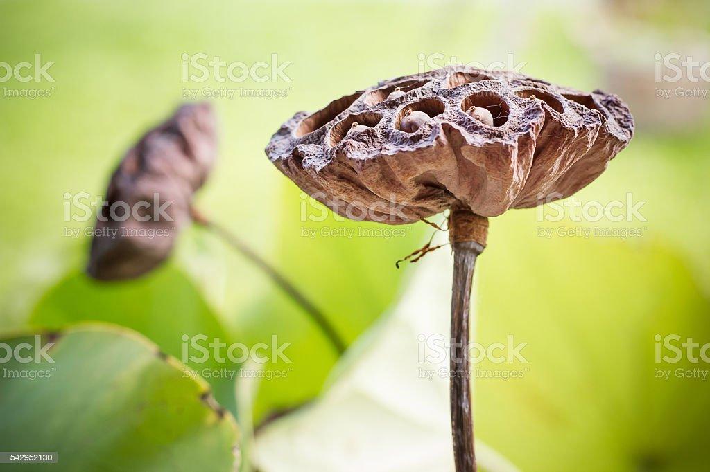 Dry lotus, lotus flower, lotus leaf. stock photo