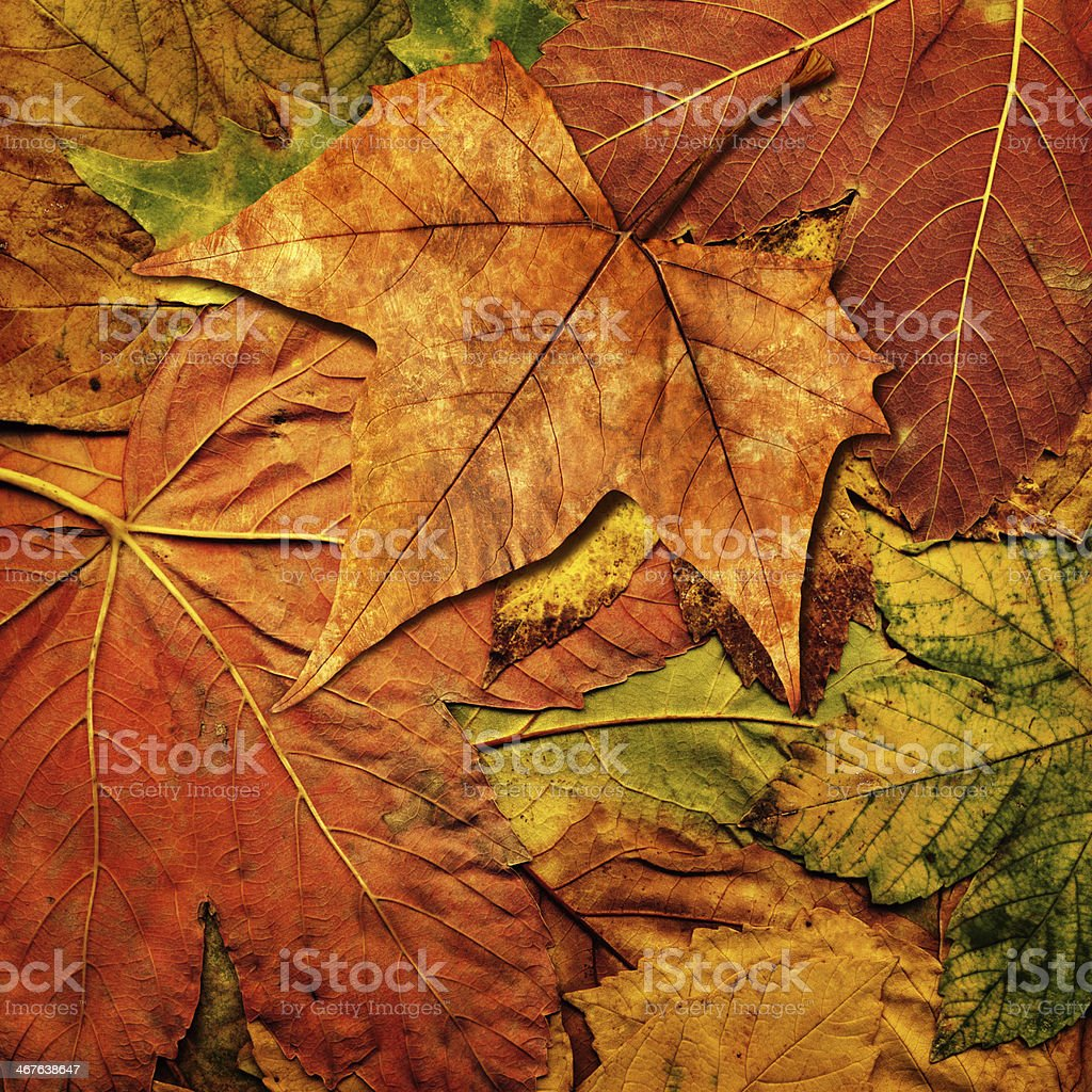 Dry Maple Leaf Isolated On Autumn Foliage Backdrop royalty-free stock photo