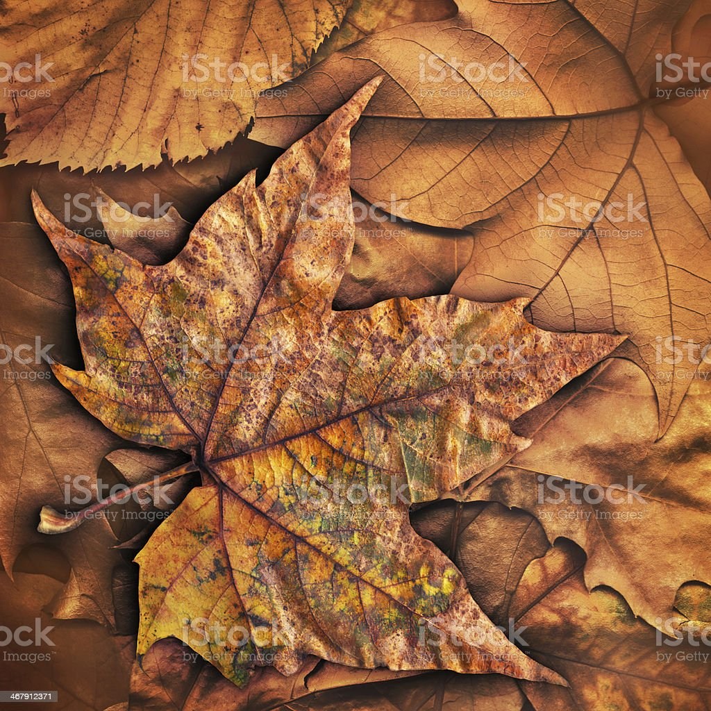 Dry Maple Leaf Isolated On Autumn Foliage Backdrop royalty-free stock photo