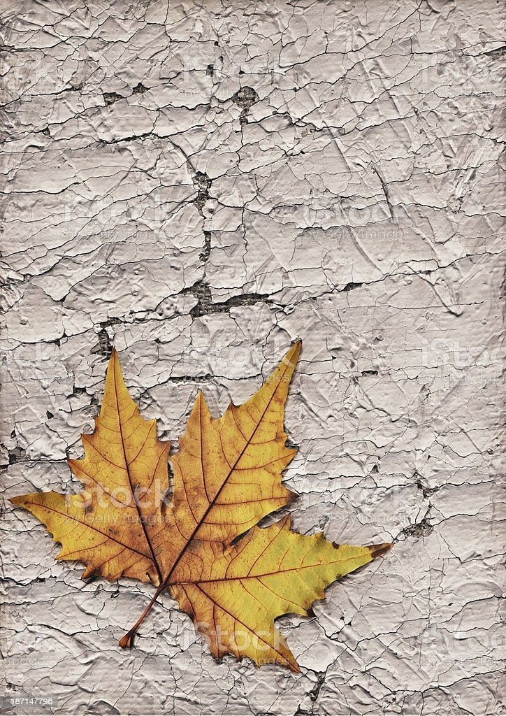 Dry Maple Leaf Isolated on Primed Cracked Exfoliated Burlap Canvas royalty-free stock photo