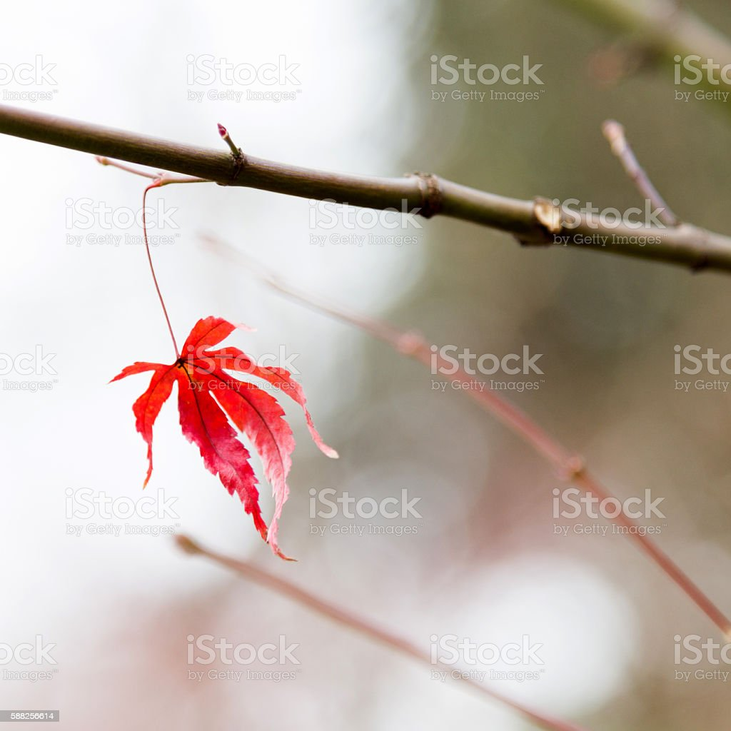 Dry maple leaf stock photo