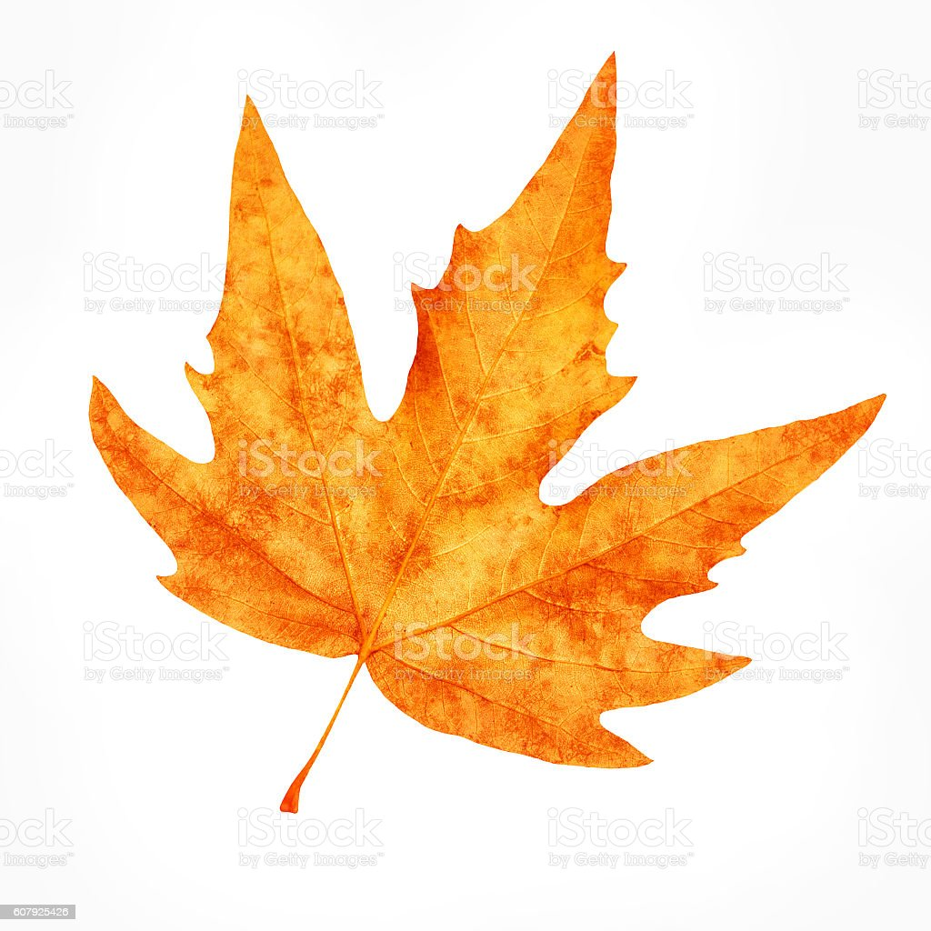Dry maple leaf stock photo