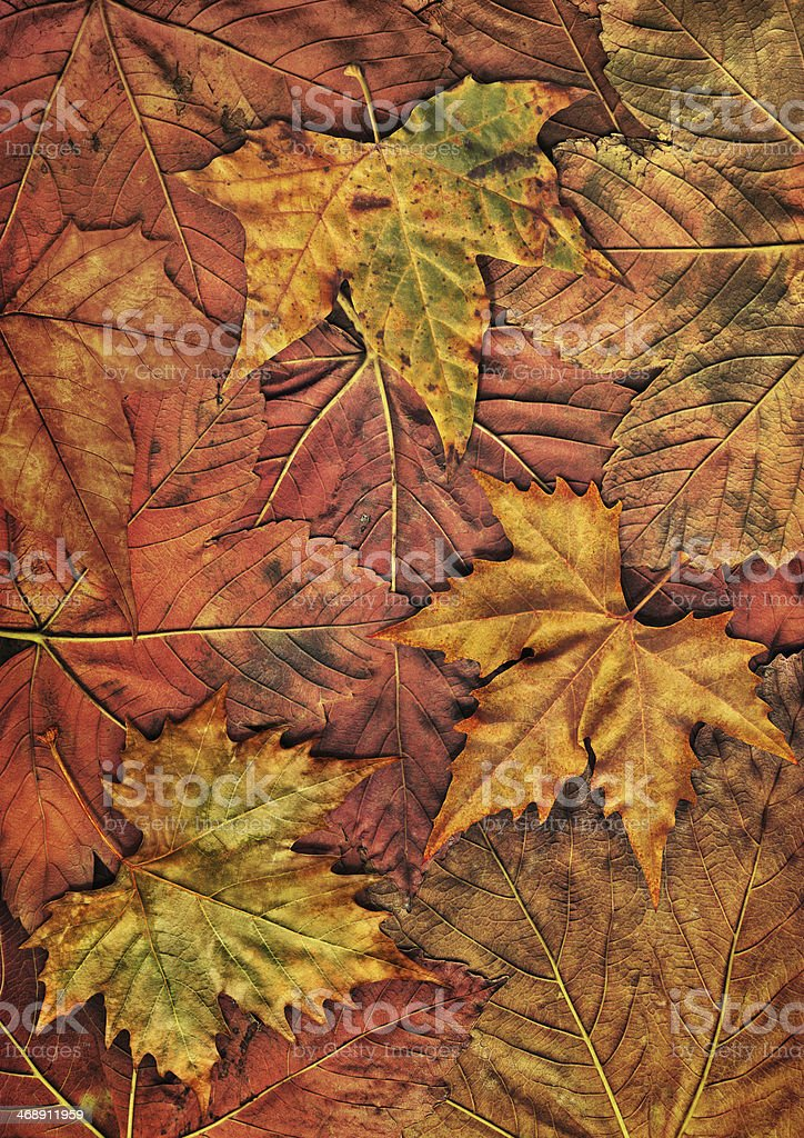 Dry Maple Leaves Isolated On Autumn Foliage Backdrop royalty-free stock photo