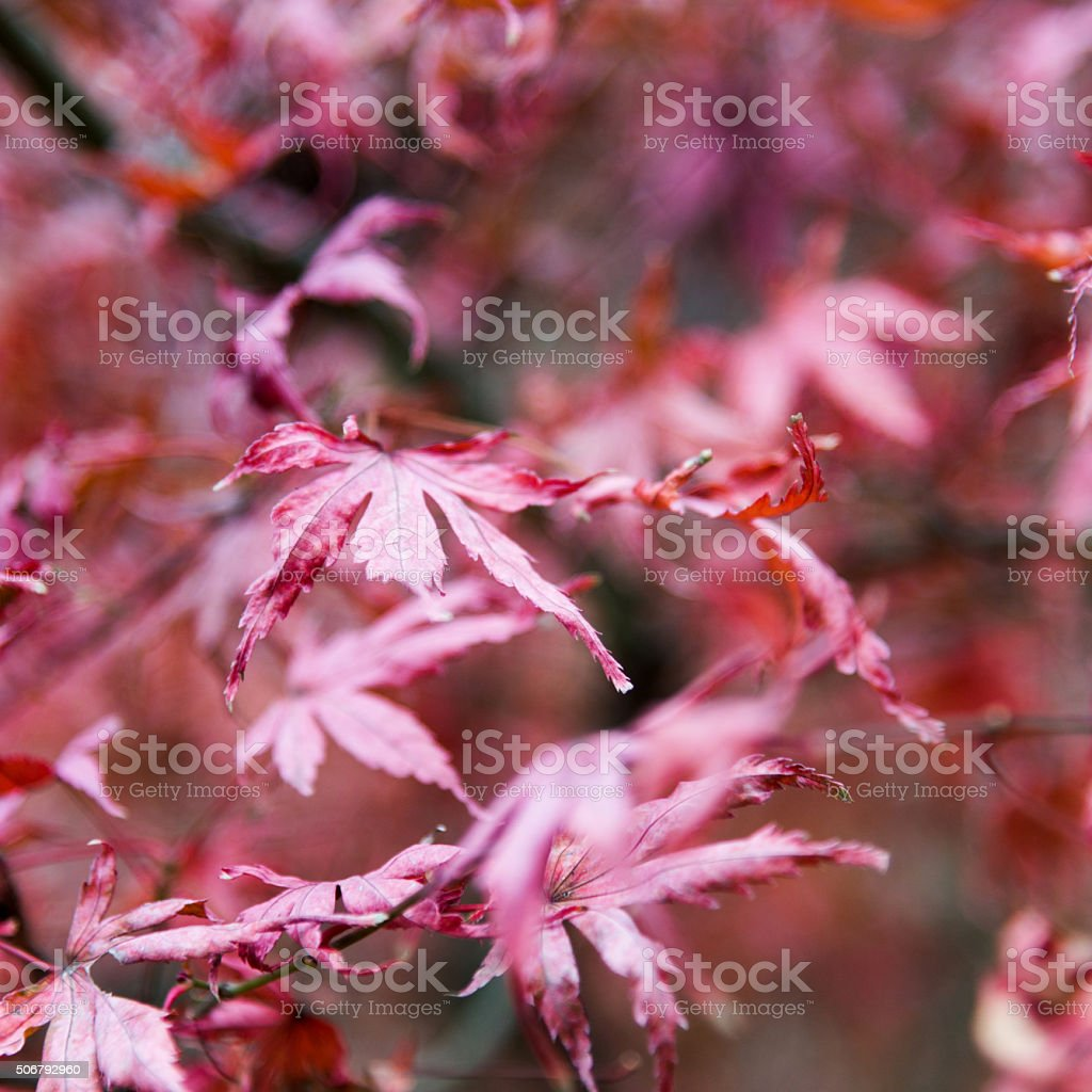 Dry maple leaves stock photo