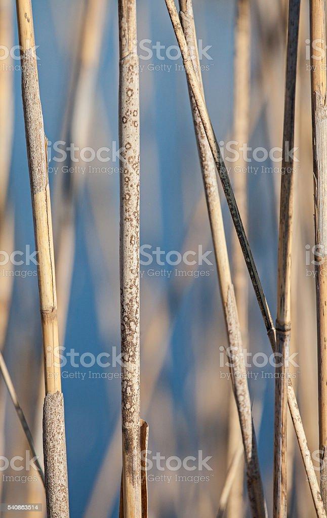 Dry Marsh Grass stock photo