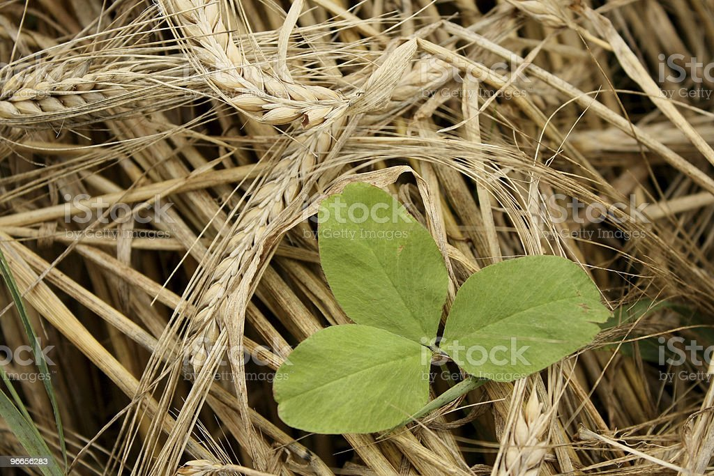 Dry Mowed Barley and Green Clover royalty-free stock photo