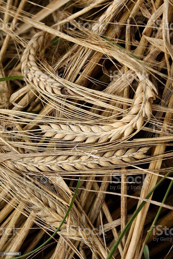Dry Mowed Barley royalty-free stock photo