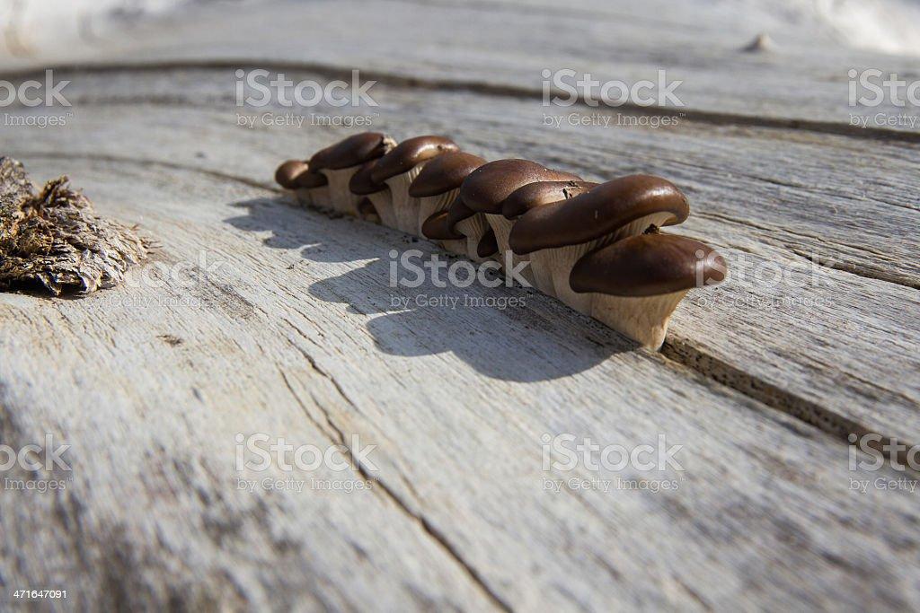 dry mushrooms in trunk - setas en tronco seco royalty-free stock photo