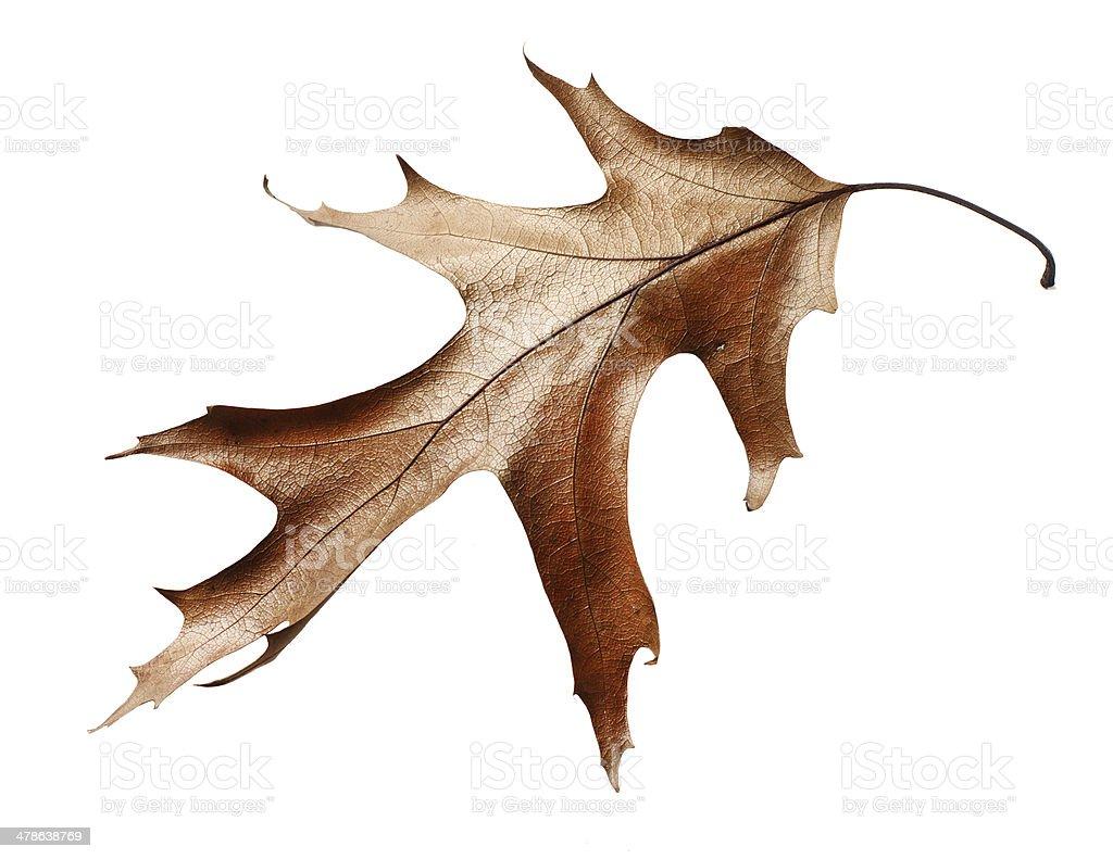 dry oak leaf isolated on white background stock photo