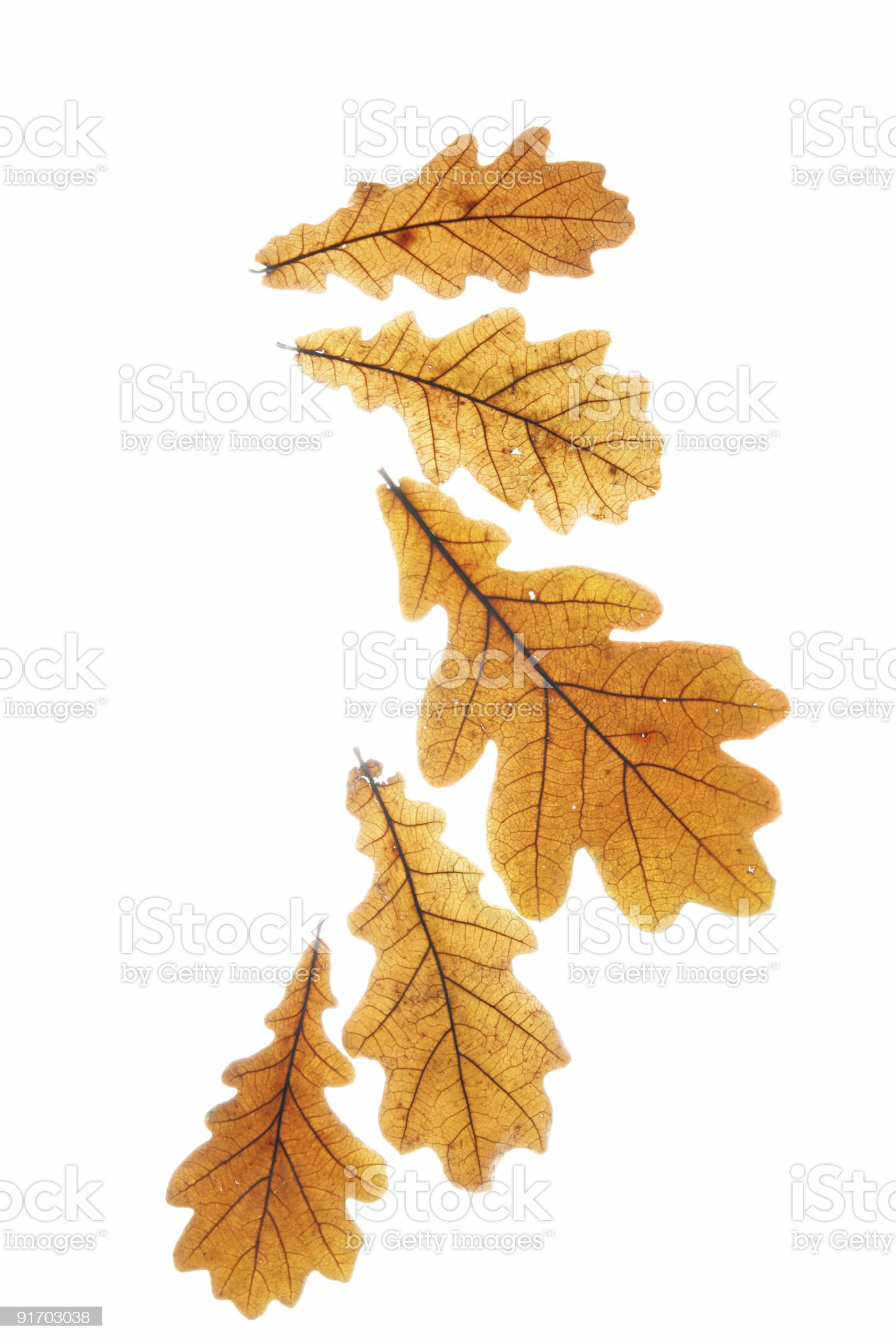 Dry oak leaves royalty-free stock photo