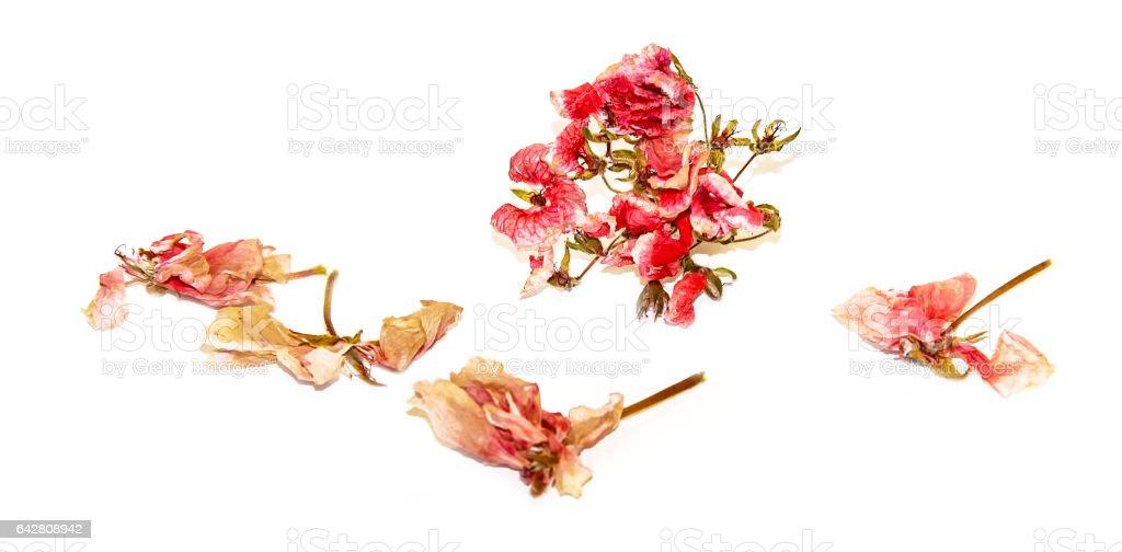 dry pink geranium perspective flowers and petals of pelargonium stock photo