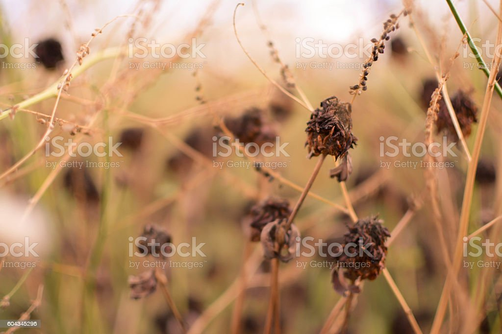 dry plants on bush stock photo
