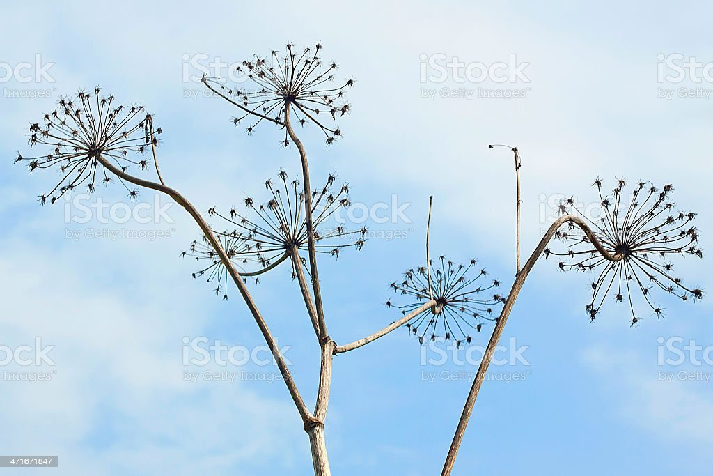 Dry plants royalty-free stock photo
