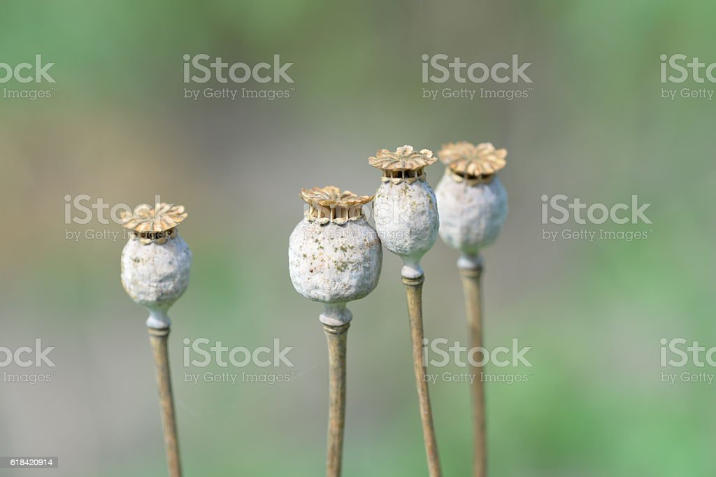 Dry poppy heads in the garden close up stock photo