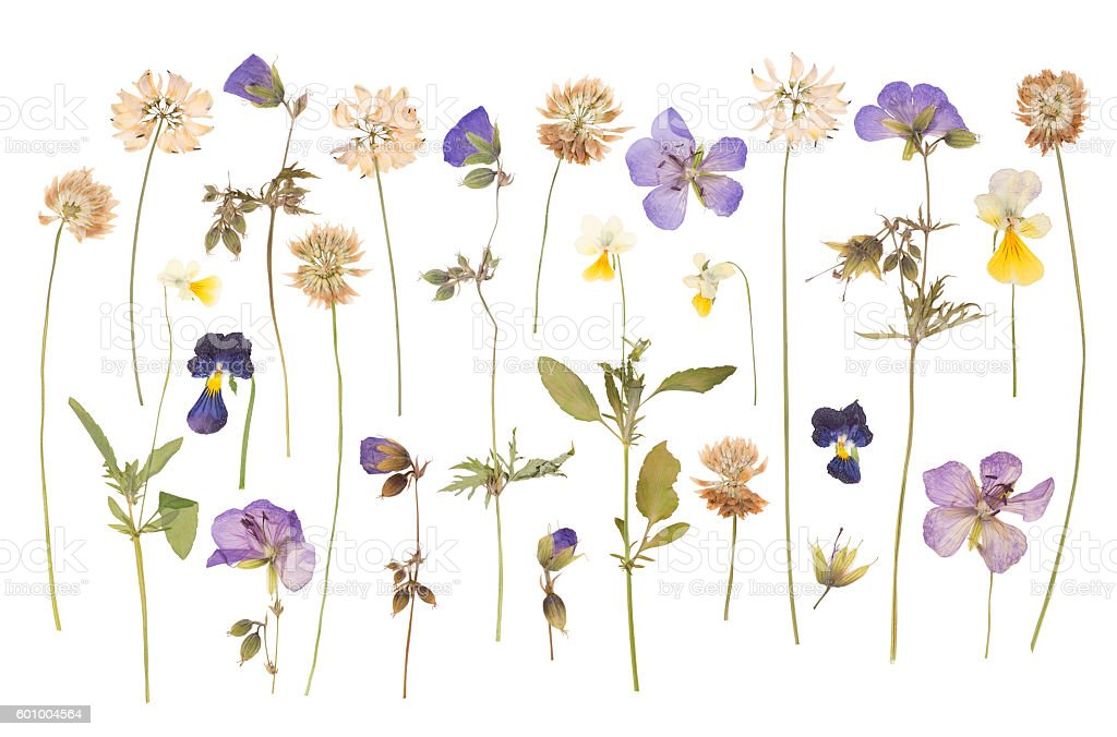 Dry pressed wild flowers stock photo