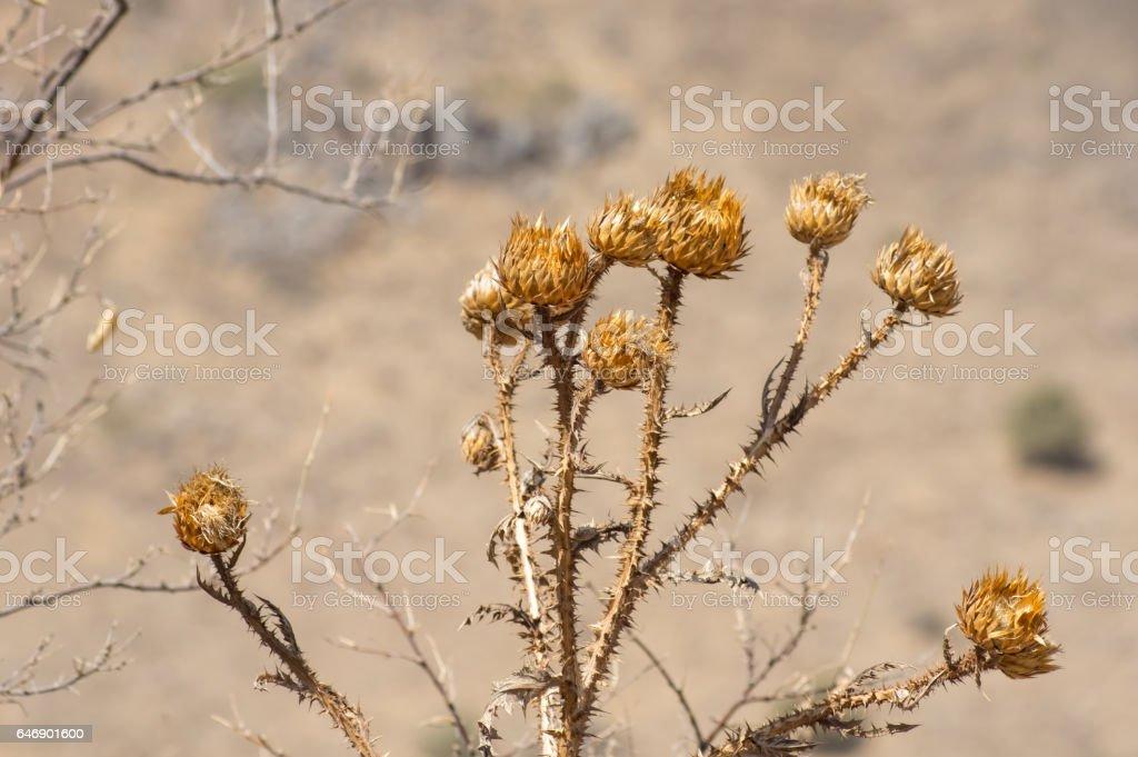 Dry prickly plant, thistle. stock photo