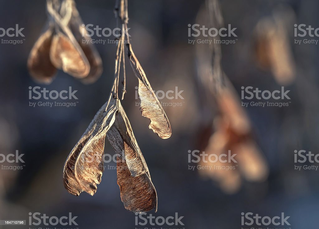 Dry red maple keys in the winter royalty-free stock photo