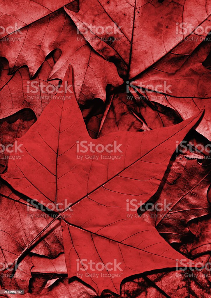 Dry Red Maple Leaf on Autumn Foliage Backdrop stock photo