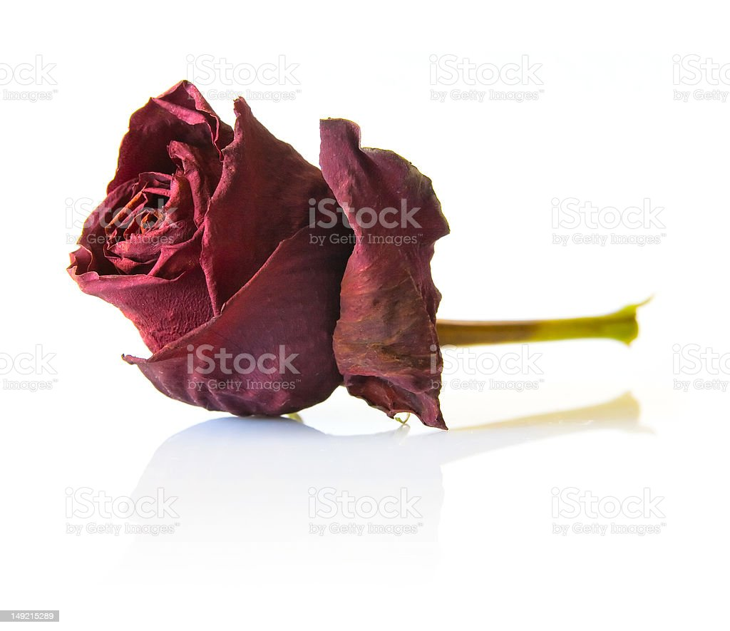 Dry red rose flower stock photo
