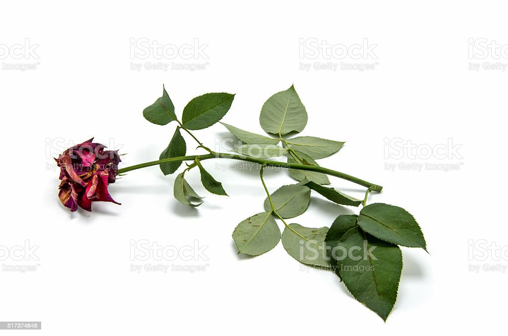Dry red rose on white background. stock photo