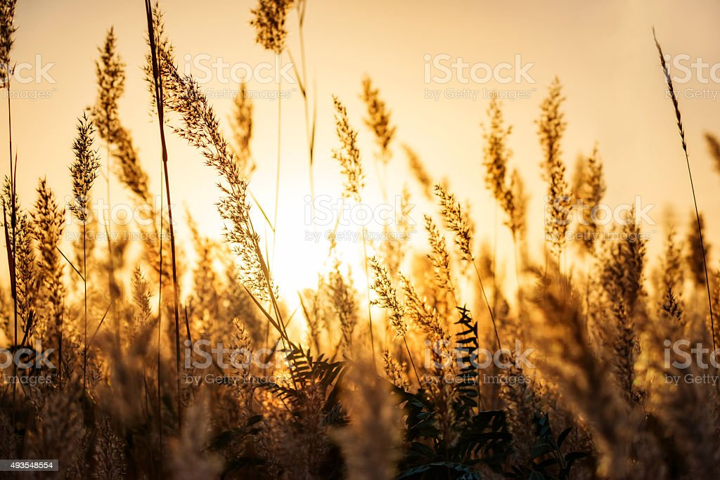 Dry reed bending over the water. Retro style. stock photo