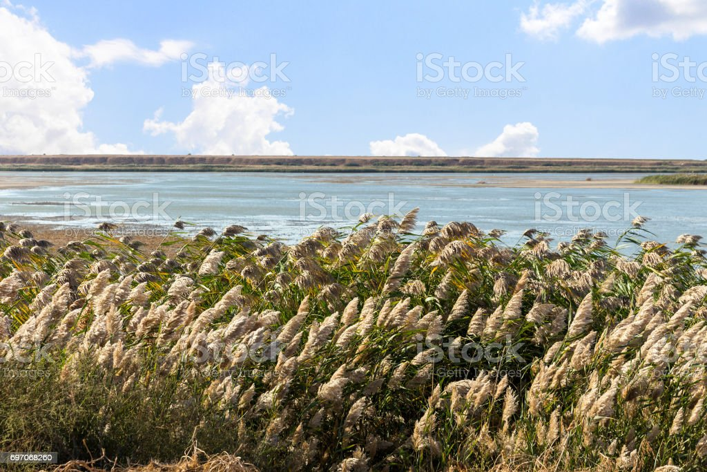 Dry Reed (Scirpus gen.) spinney in river stock photo
