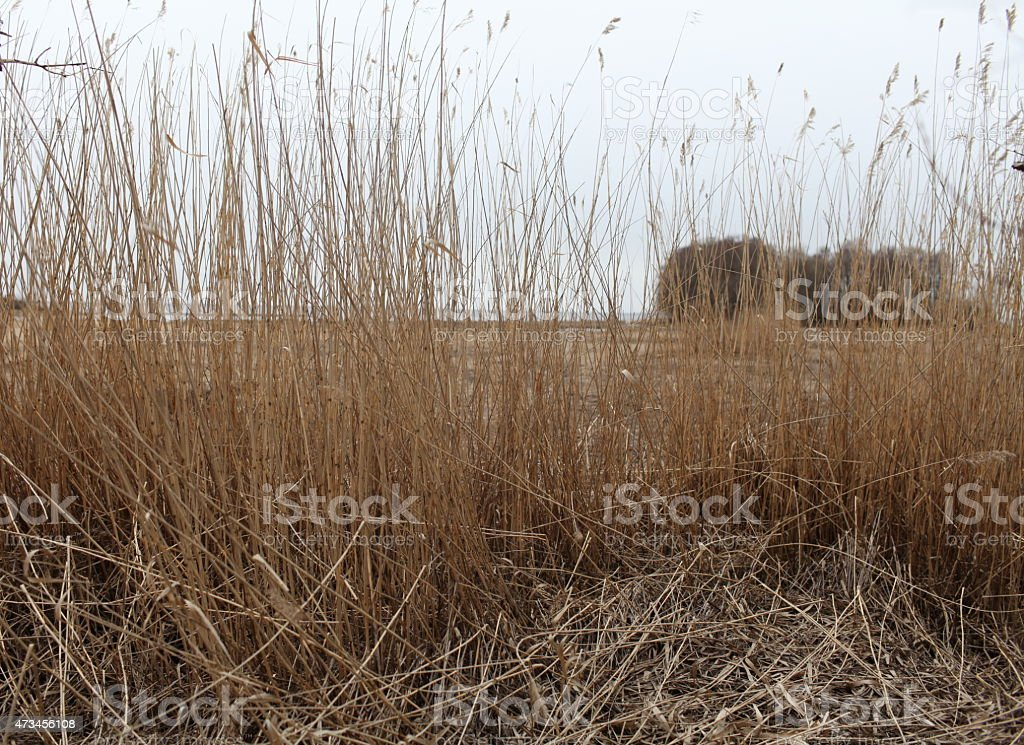 Dry reeds in the wind stock photo
